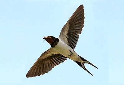 Os nosos paxaros: A anduriña