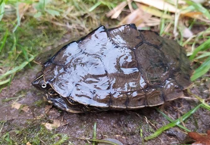 Tartaruga exótica foi encontrada no rio Minho em Vila Nova de Cerveira