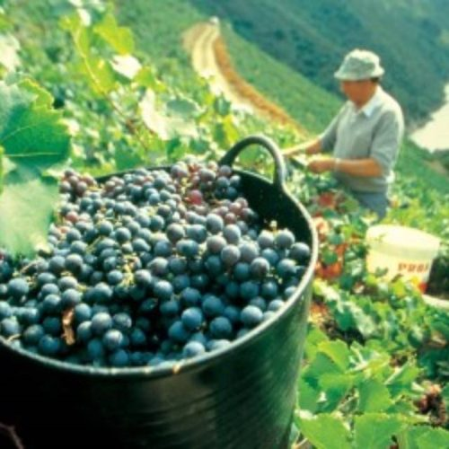 A XLI Feira Mostra do Viño de Amandi será en agosto