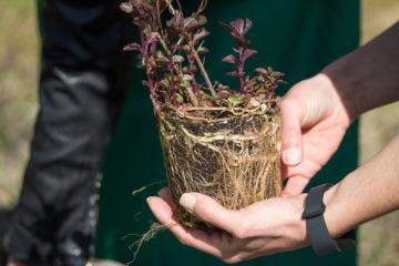 Plantação de 50 árvores, arbustos e plantas aromáticas no PANT