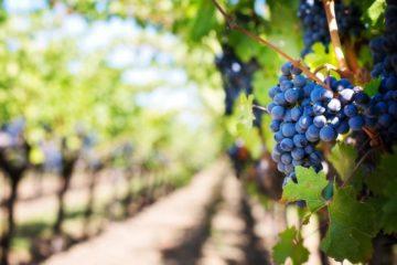 Ribadumia prepárase para a XLVIII Festa do viño tinto do Salnés