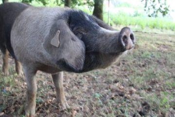 A Xunta busca a mellora xenética do porco celta